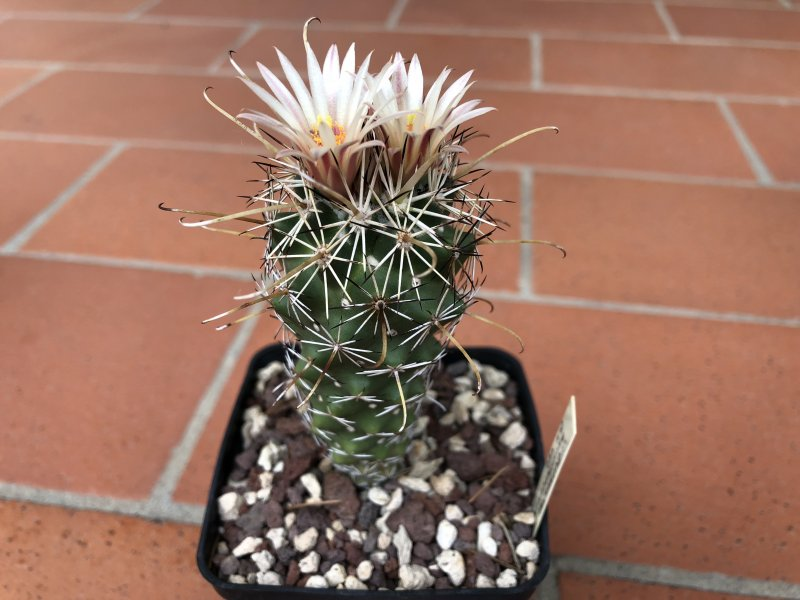 coryphantha ancistracantha