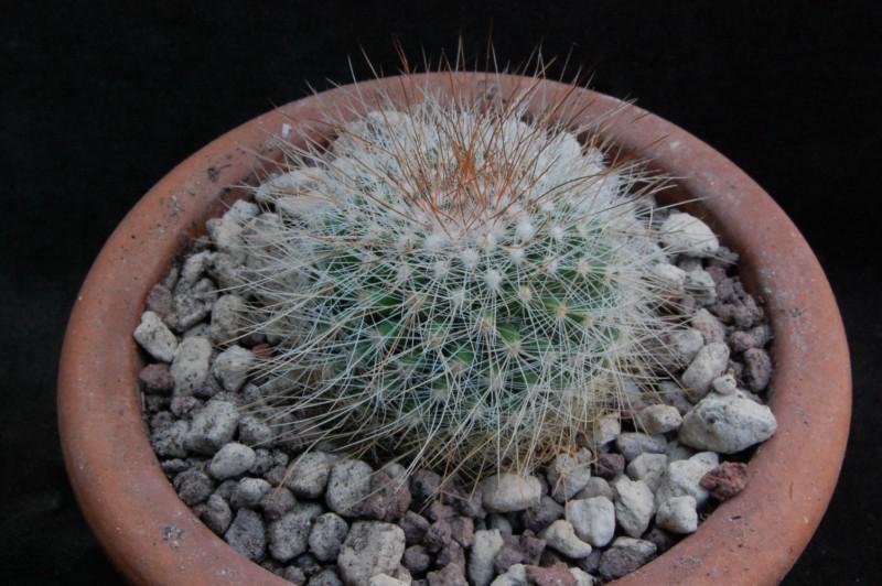 Mammillaria nunezii HO 267