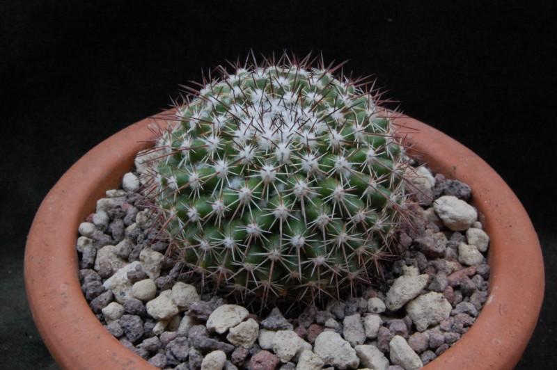 Mammillaria montensis PN 460