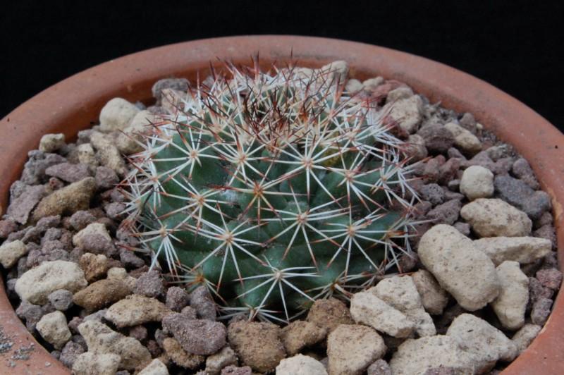 Mammillaria johnstonii MH 43/90