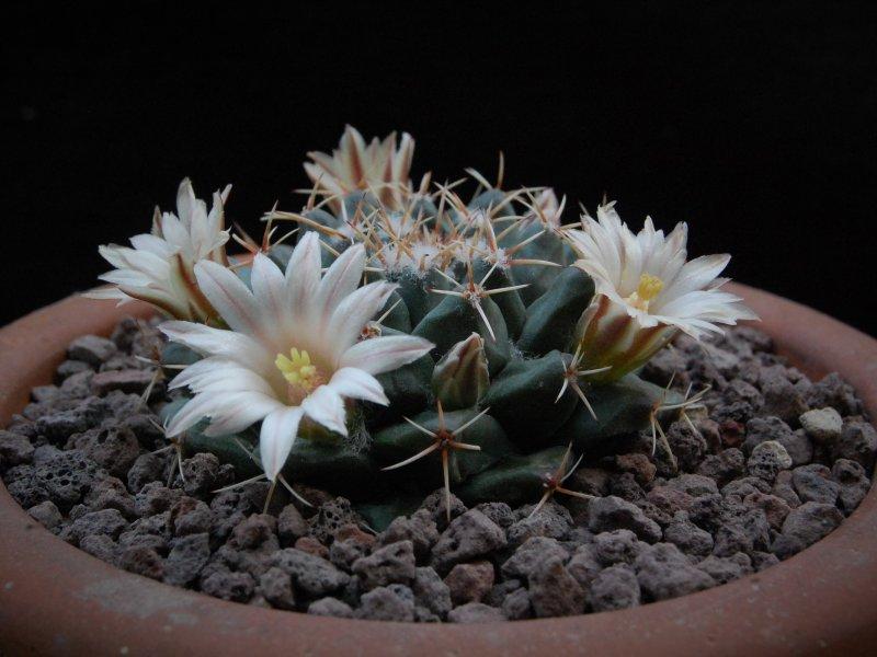 Mammillaria roseoalba WTH 1057