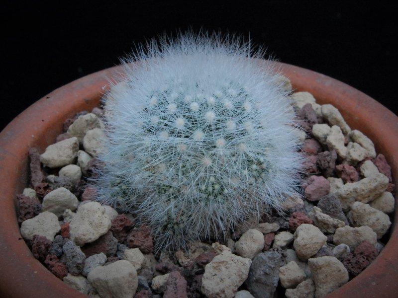 Mammillaria schwarzii WTH 1068