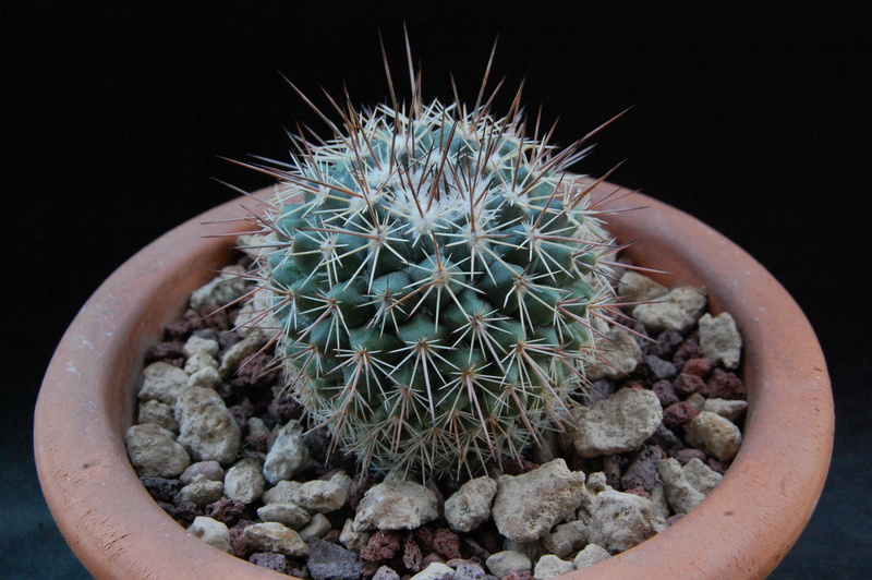 Mammillaria hertrichiana forma LAU 85