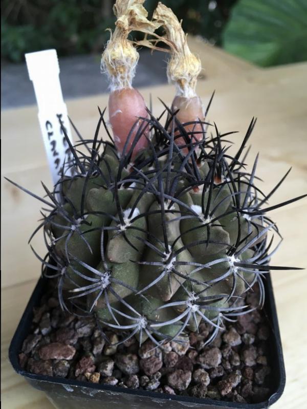 Eriosyce clavata