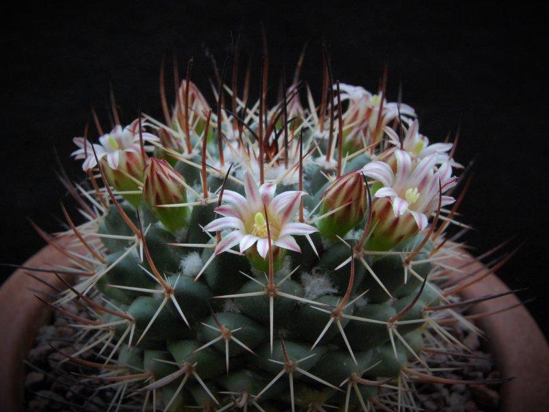 Mammillaria wagneriana ROG 504