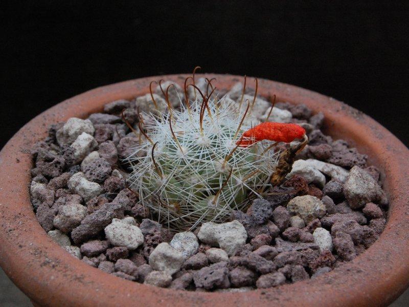 Mammillaria boolii SB 433