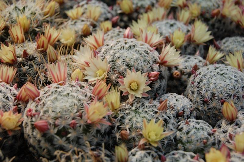 Mammillaria nana ssp. duwei