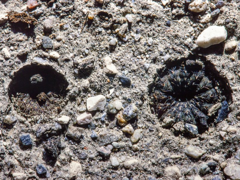 Frailea castanea