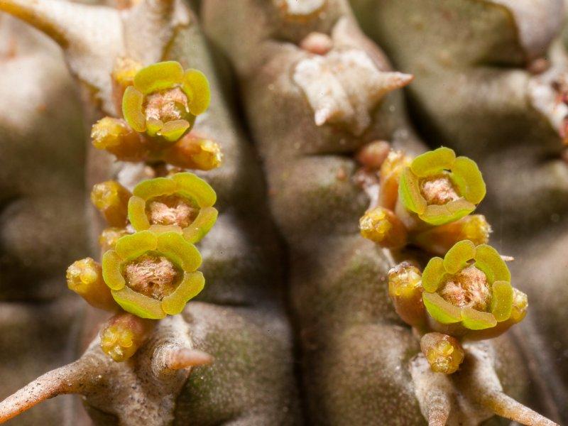 Euphorbia phillipsioides