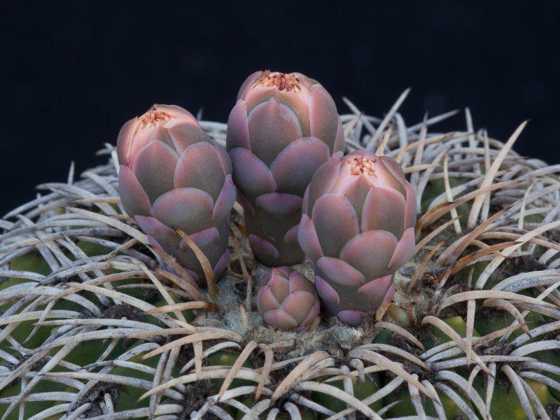 Gymnocalycium spegazzinii
