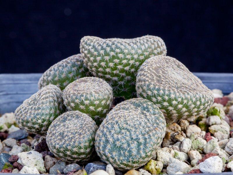 Maihueniopsis clavarioides