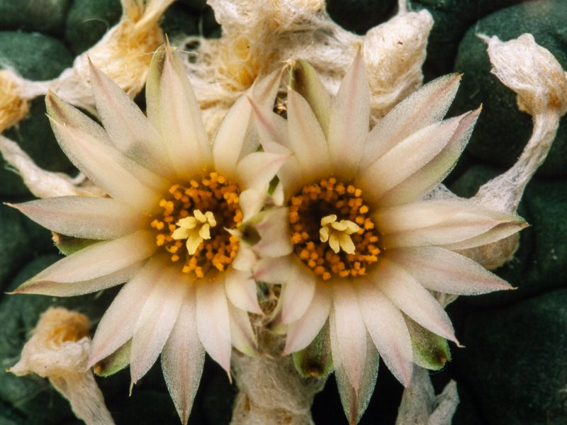 Lophophora williamsii cv. albiflora