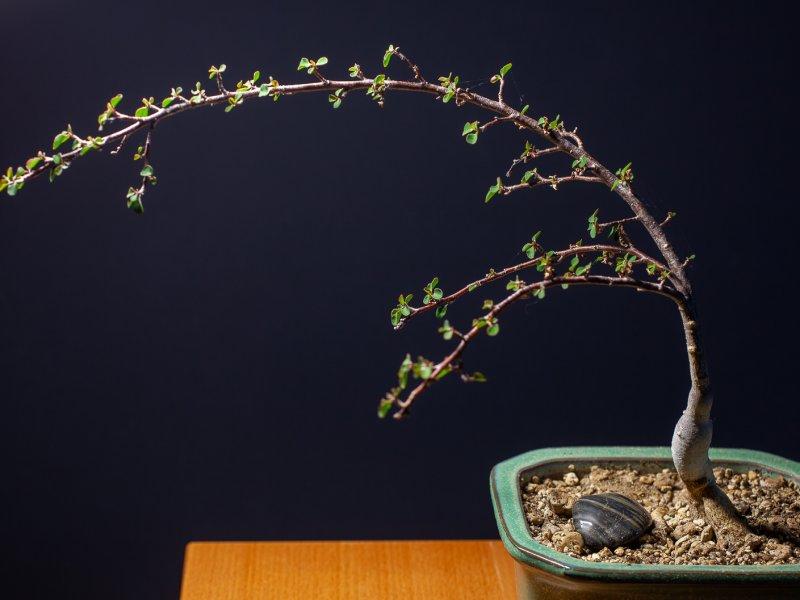 Euphorbia denisii