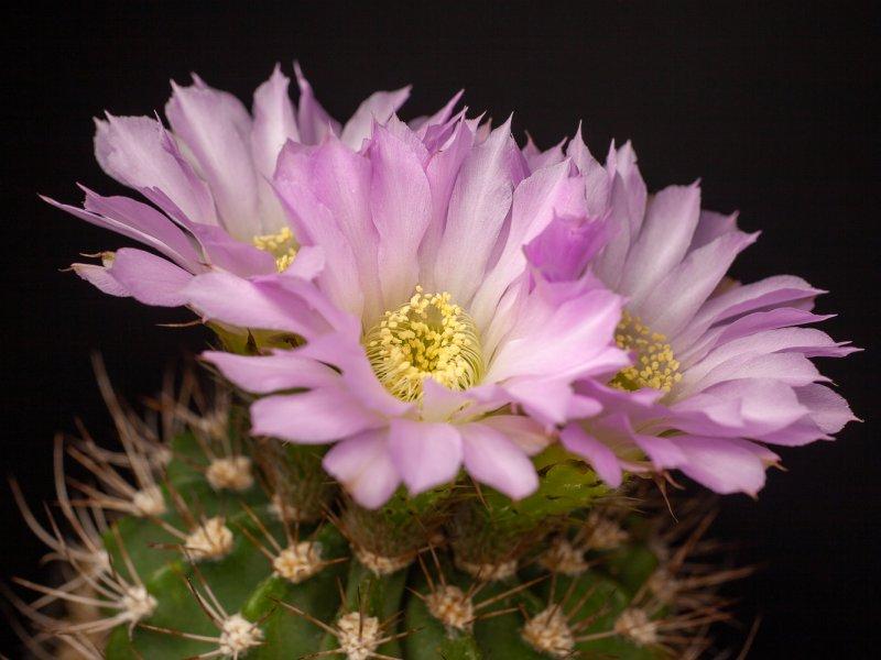 Acanthocalycium violaceum P110