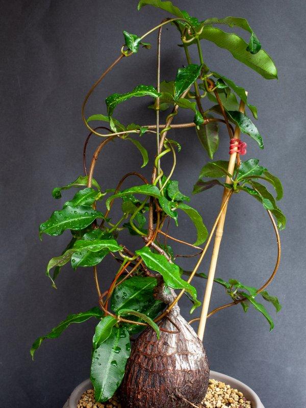 Petopentia nataliensis
