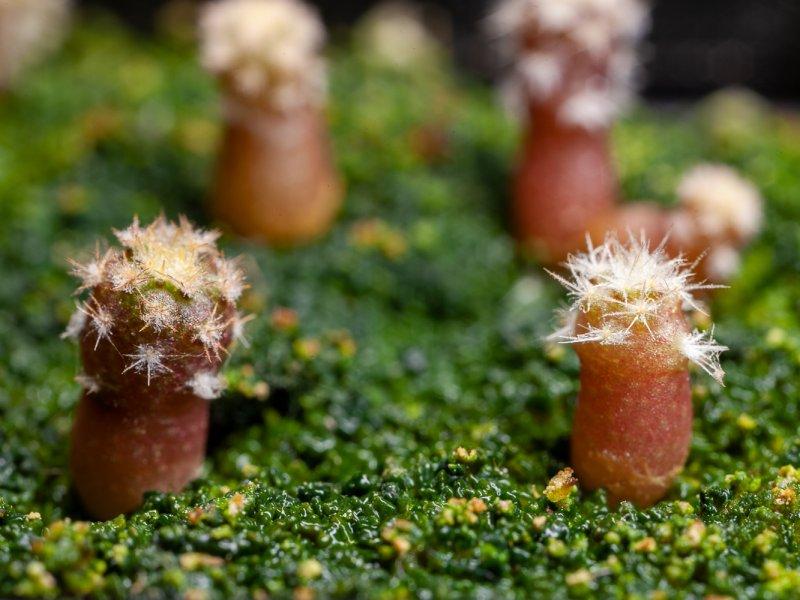 Eriosyce duripulpa