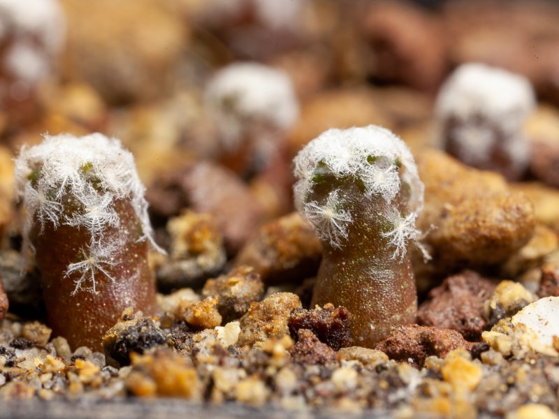 Turbinicarpus valdezianus v. albiflorus