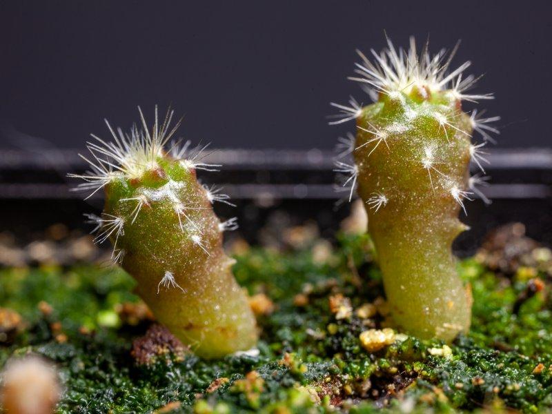 Echinocereus poselgeri ssp. kroenleinii