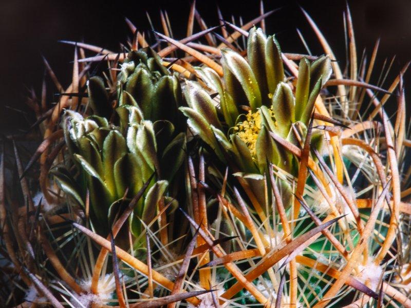 Echinomastus unguispinus