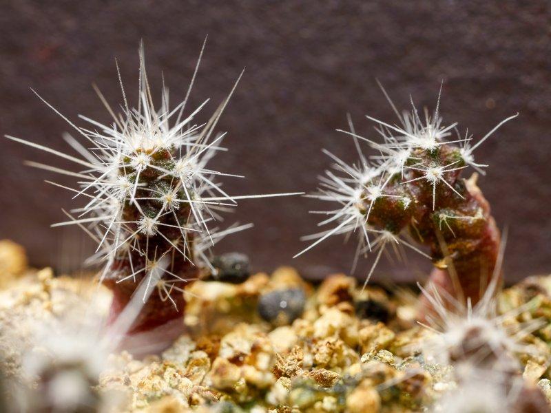 Sclerocactus spinosior