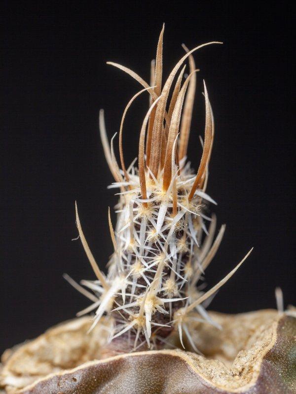Pediocactus papyracanthus
