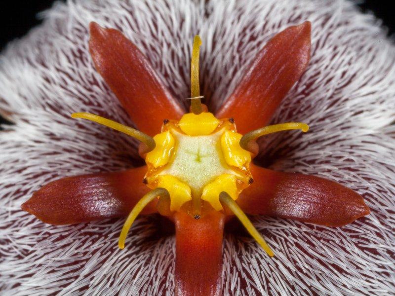 Stapelia erectiflora