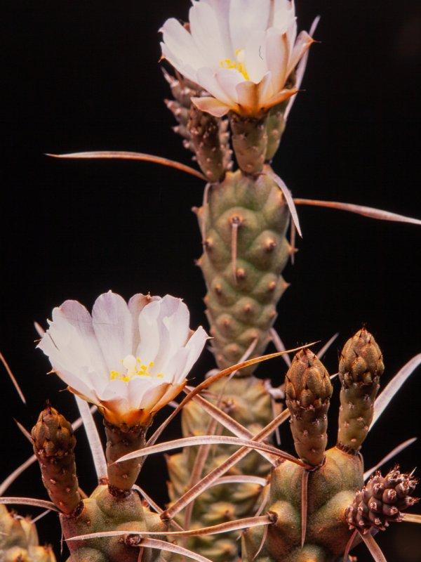 Tephrocactus articulatus v. oligacanthus