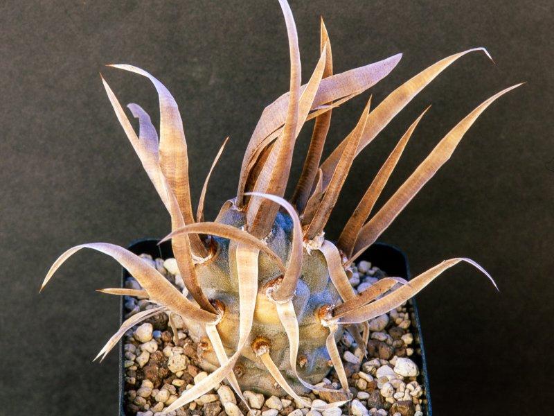 Tephrocactus articulatus var.