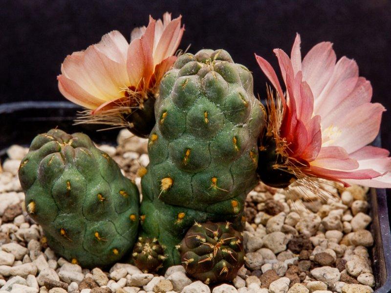 Maihueniopsis subterranea
