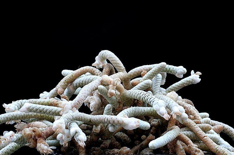 Anacampseros albissima