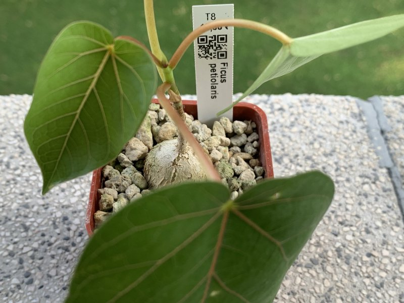 Ficus petiolaris