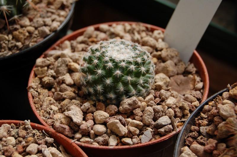 Mammillaria acanthoplegma