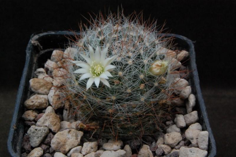 Mammillaria moeller-valdeziana AdB 138