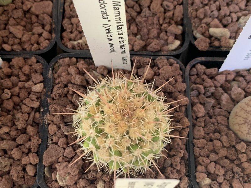 Mammillaria eichlamii cv. lana dorata