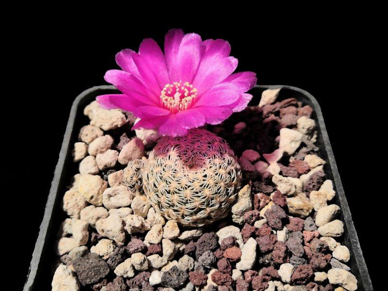 Sulcorebutia mentosa v. albissima HS106