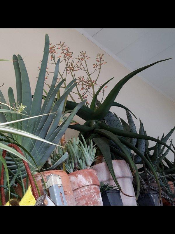 Aloe fleurentiniorum