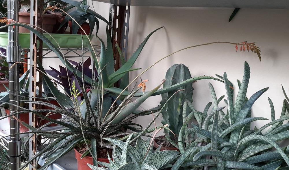 Aloe parvula