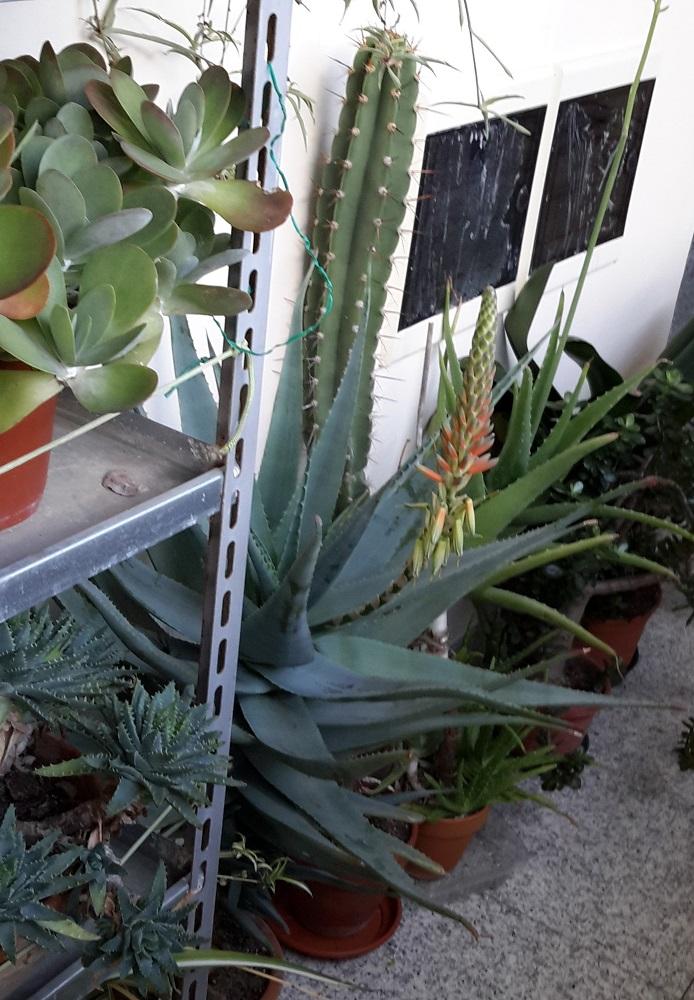 Aloe cv. varvari