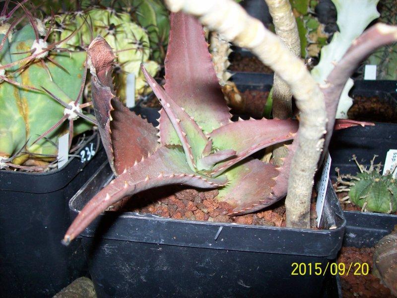 Aloe chabaudii v. mlanjeana