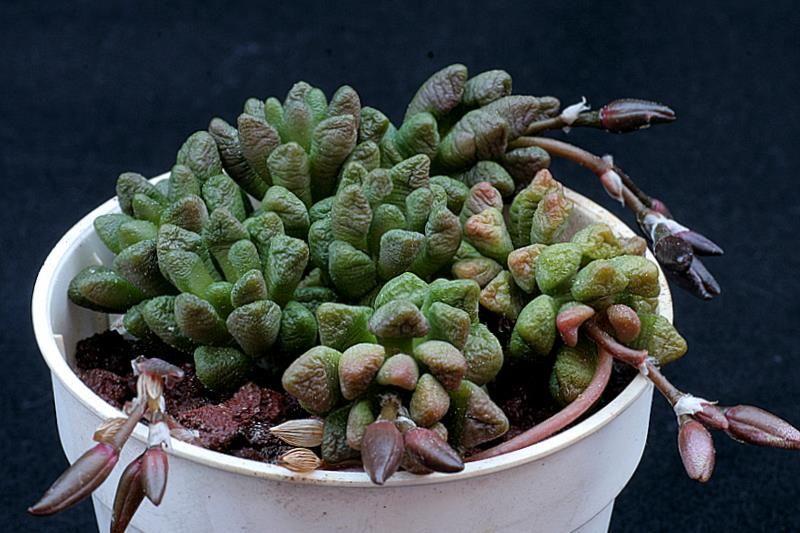 Anacampseros densifolia