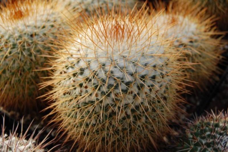 Mammillaria apozolensis v. saltensis LAU 1045