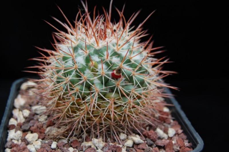 Mammillaria apozolensis
