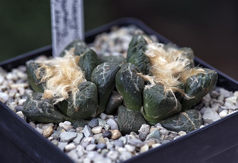 Ariocarpus fissuratus ssp. lloydii