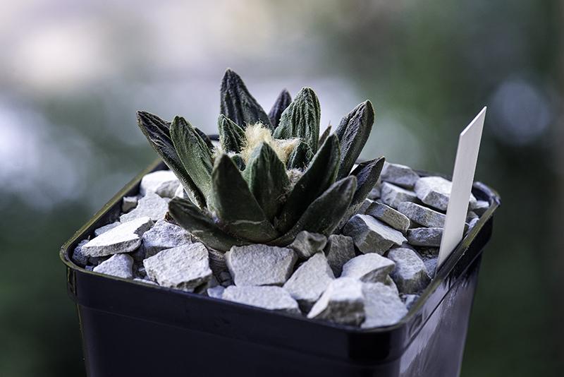 Ariocarpus scaphirostris hybrid