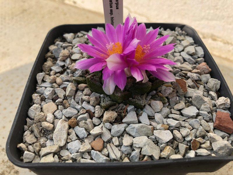 Ariocarpus fissuratus ssp. hintonii