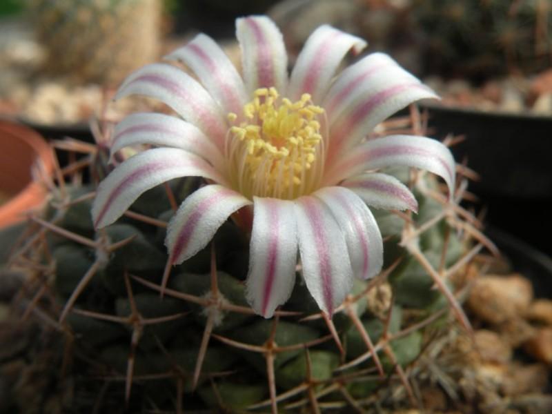 Mammillaria boelderliana