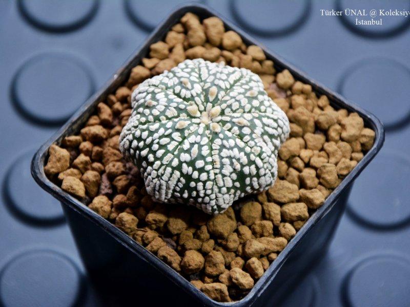 Astrophytum asterias cv. super kabuto star shape