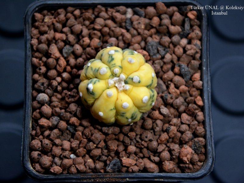 Astrophytum asterias f. variegatum cv. fukuryu
