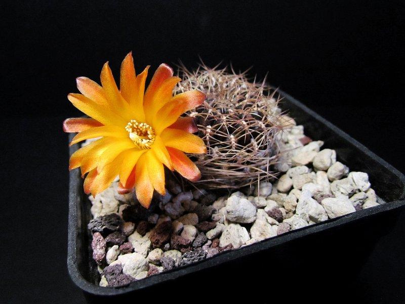 Sulcorebutia arenacea v. candiae HJ939
