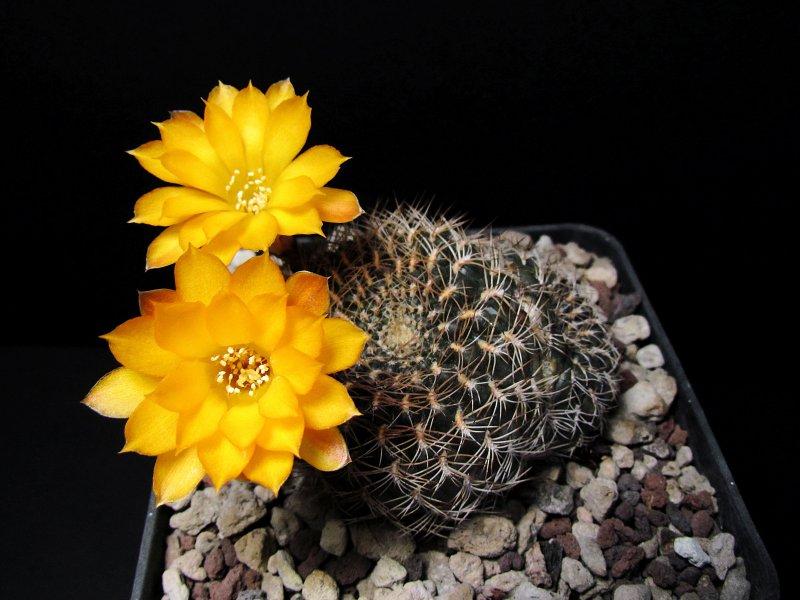 Sulcorebutia arenacea v. candiae HS29